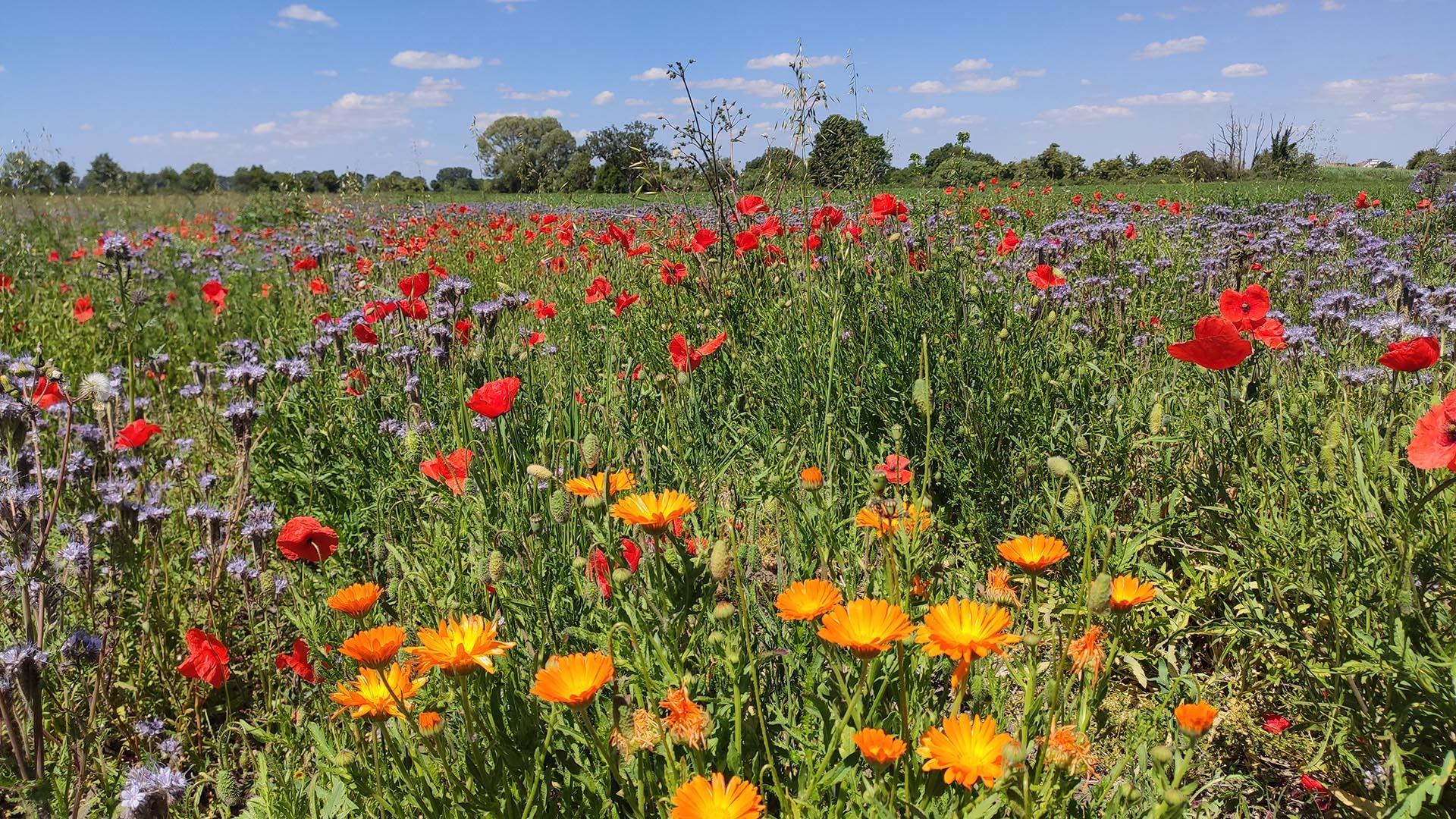 Qi Gong der 4 Jahreszeiten - Sommer, Wildwiese mit Feldblumen
